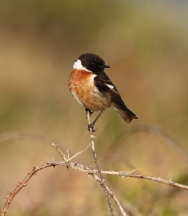 Alderney's breading bird population is a vital part of the ABO's work